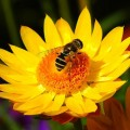 bee-on-flower-with-colored-background-randy-harris1